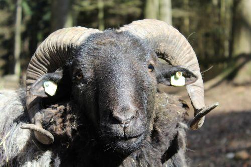 sheep horns animal