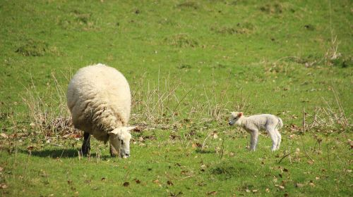 sheep lamb meadow