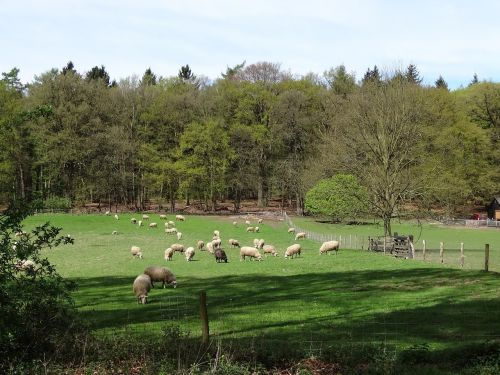 sheep lamb white sheep
