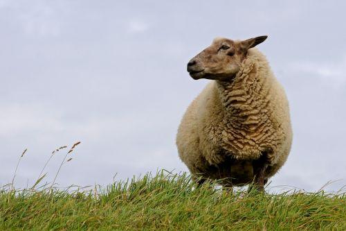 sheep north sea curiosity