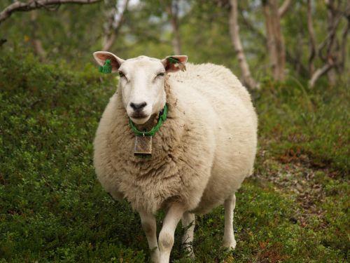 sheep winking animal