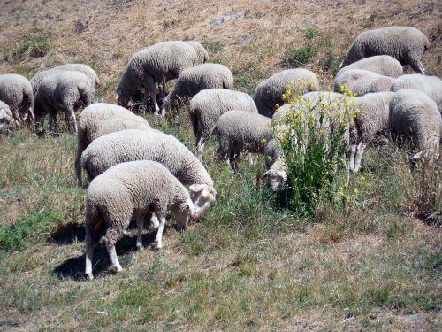 sheep flock flock of sheep