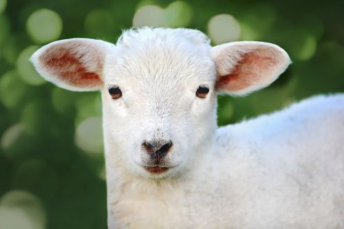 sheep young animal lamb