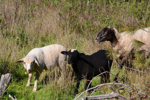 sheep lambs schäfchen