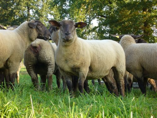 sheep herd herbage