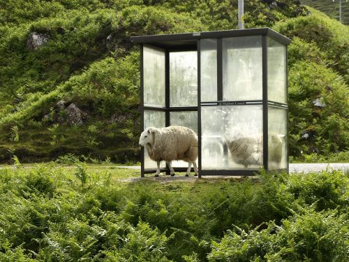 sheep bus stop stop