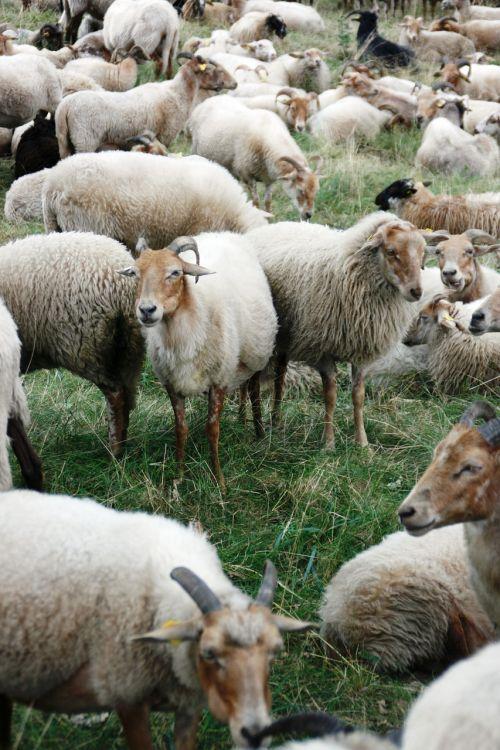 sheep heather s heide