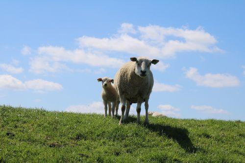 sheep and lambs dike sheep