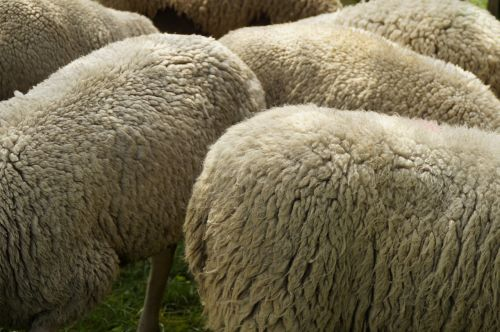 sheep breeding wool fur