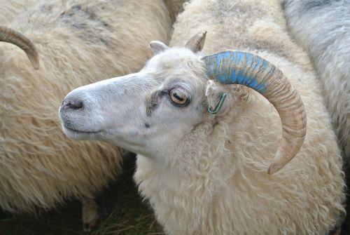 sheep herding shepherding may