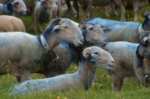 sheep-herding sheep provence