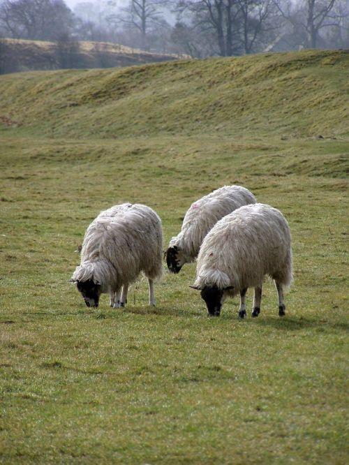 sheep pasture landscape england