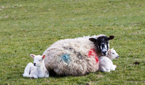 Sheep With Lambs