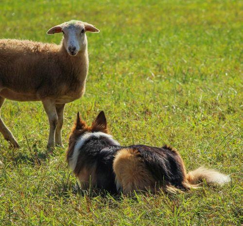 sheepdog working herding