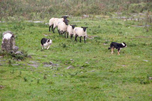 sheepdogs sheep sheep-dog