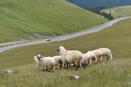 sheeps mountain livestock
