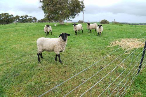 sheeps pens farm