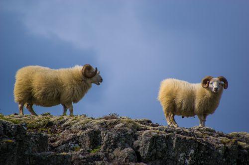 sheeps mountain nature