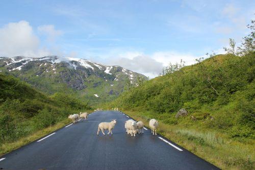 sheeps road mountains