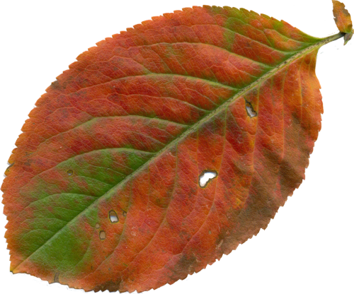 sheet clipart leaves