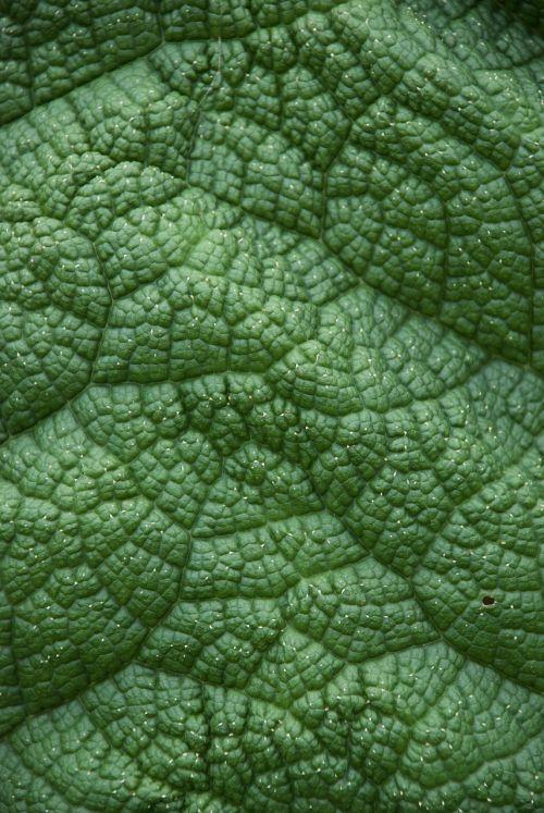 lakštas,žalias,augalas,Iš arti,žalias lapas,didelis,žalias fonas,šviežias