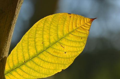 lakštas,venos,ruduo,gamta,geltona