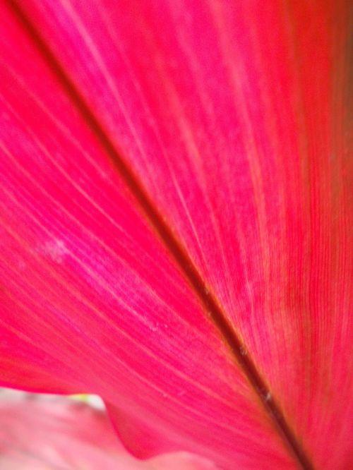 lakštas,rožinis,venos,gamta