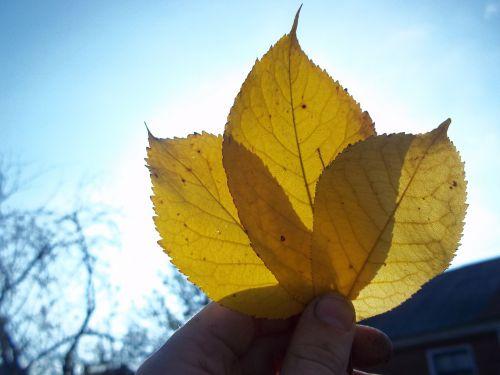sheet autumn oak leaf