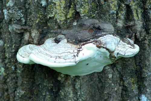 shelf fungus on tree  fungus  fungi