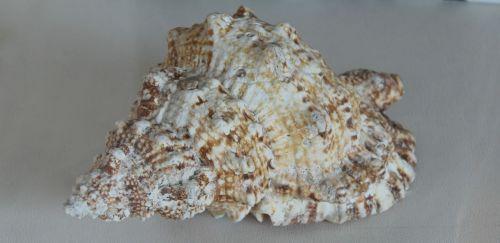 shell sea clam