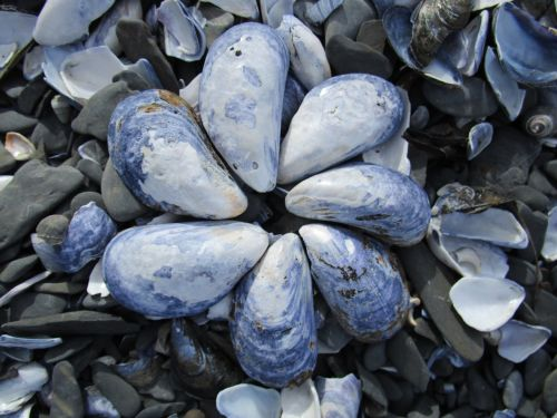 shell seashell blue