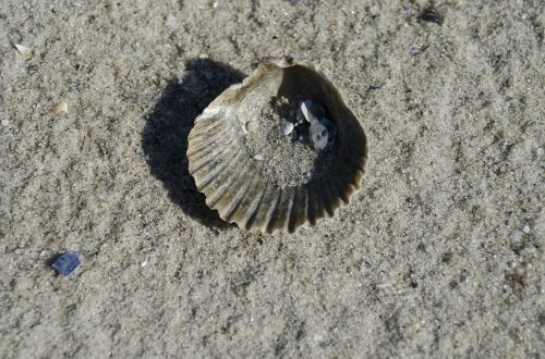 shell seashell clam