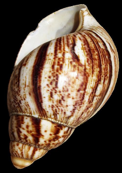 shell snail achatina fulica