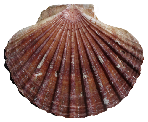 shell scallop pilgrim shell