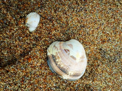shell clam sand