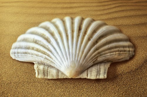shell  oyster  molluscum