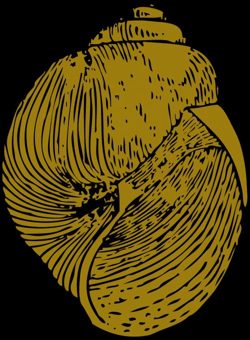 shell snail shell mollusk