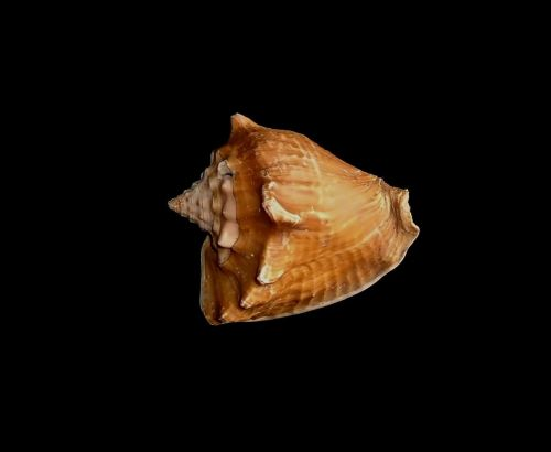 shell black seashell