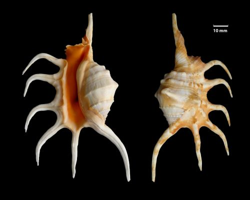 shell knobbed conch lambis crocata