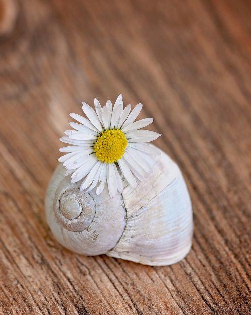 shell empty snail shell daisy