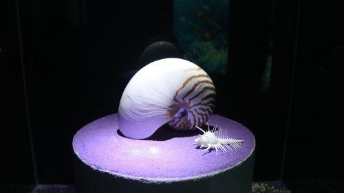 shell nautilus marine