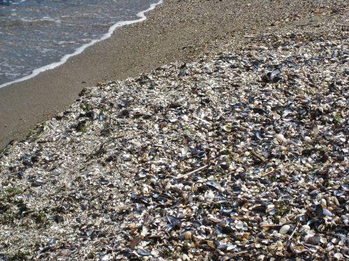 shell beach mussels baltic sea