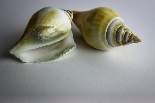 shellfish shell snail