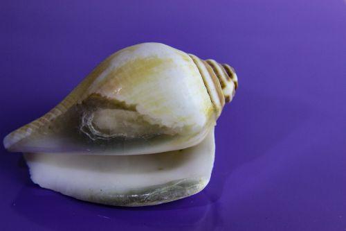 shellfish shell invertebrate