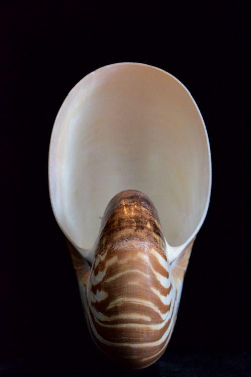 shells sea shell nautilus