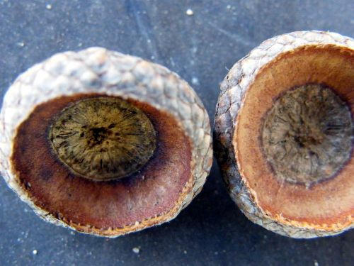 shells acorns seeds