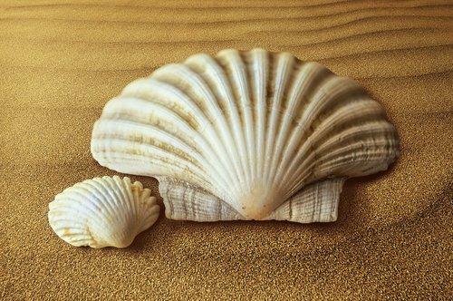 shells  oyster  molluscum