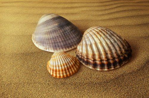 shells  clam  molluscum