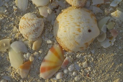 shells,beach,sea,ocean,sand,south seas,pearl
