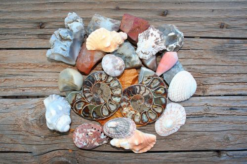 Shells And Ammonite Fossil